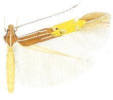 Cosmopterix quadrilineella.JPG