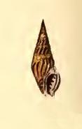 <i>Crassispira unicolor</i> Species of gastropod