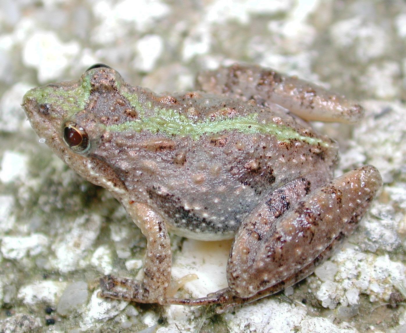 Southern Cricket Frog (Acris gryllus)
