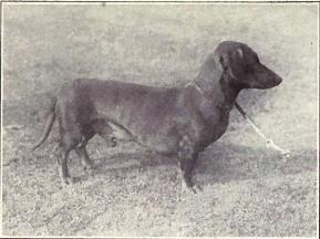 old photo of Dachshund dog