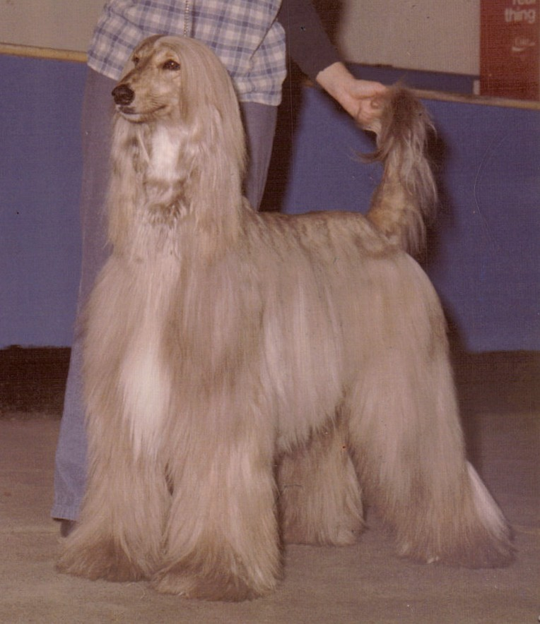 Lévrier afghan - Dog Scanner