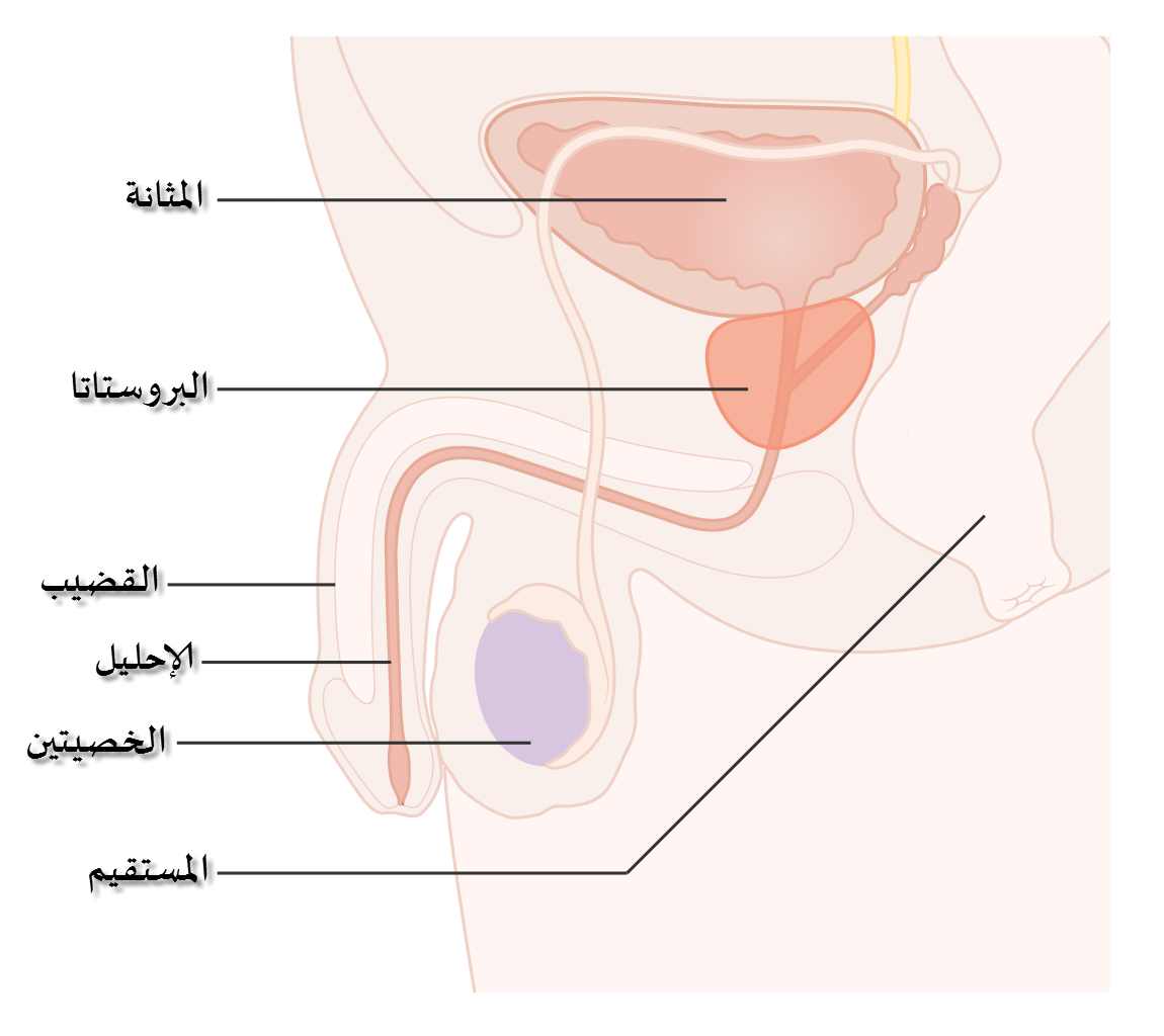 44b4ffad4 سرطان البروستاتا - ويكيبيديا، الموسوعة الحرة