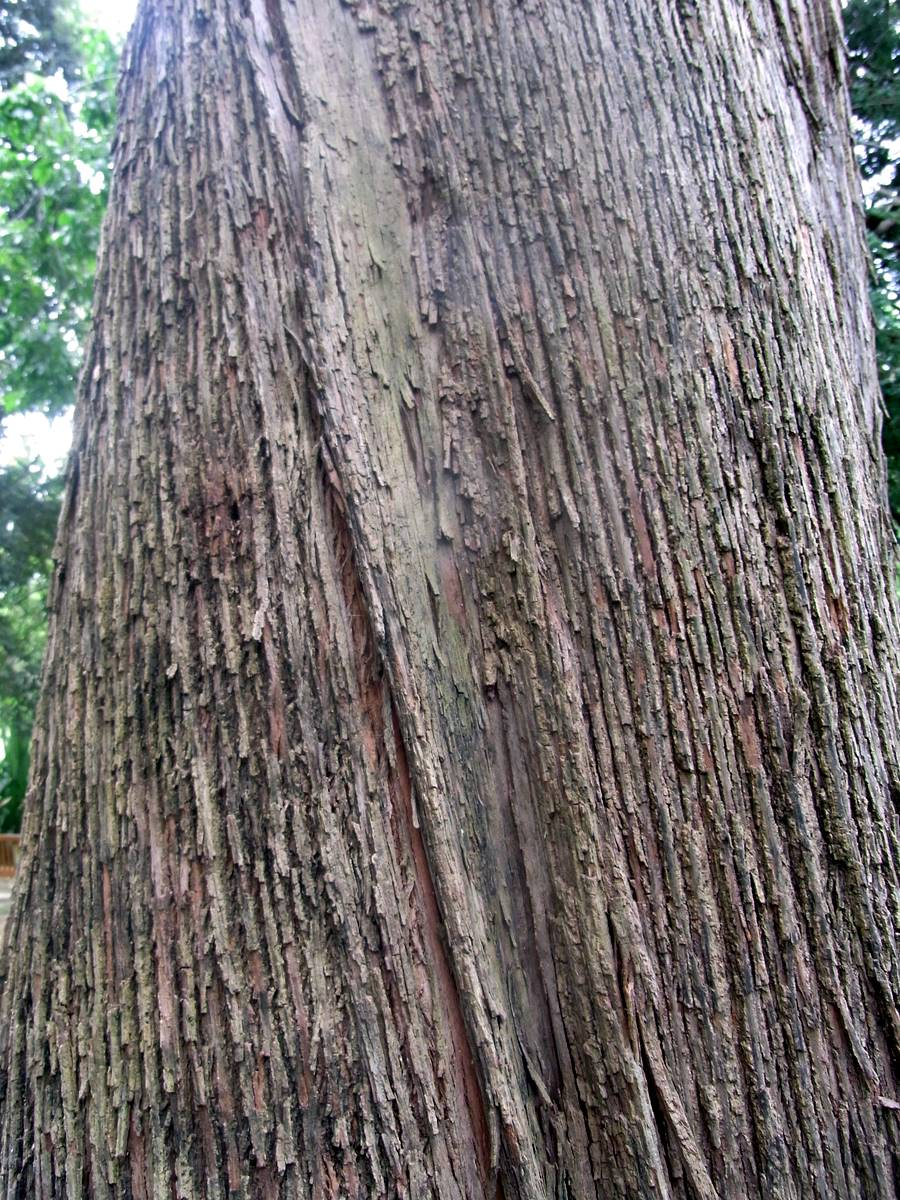 Eucalyptus Siderophloia Wikipedia