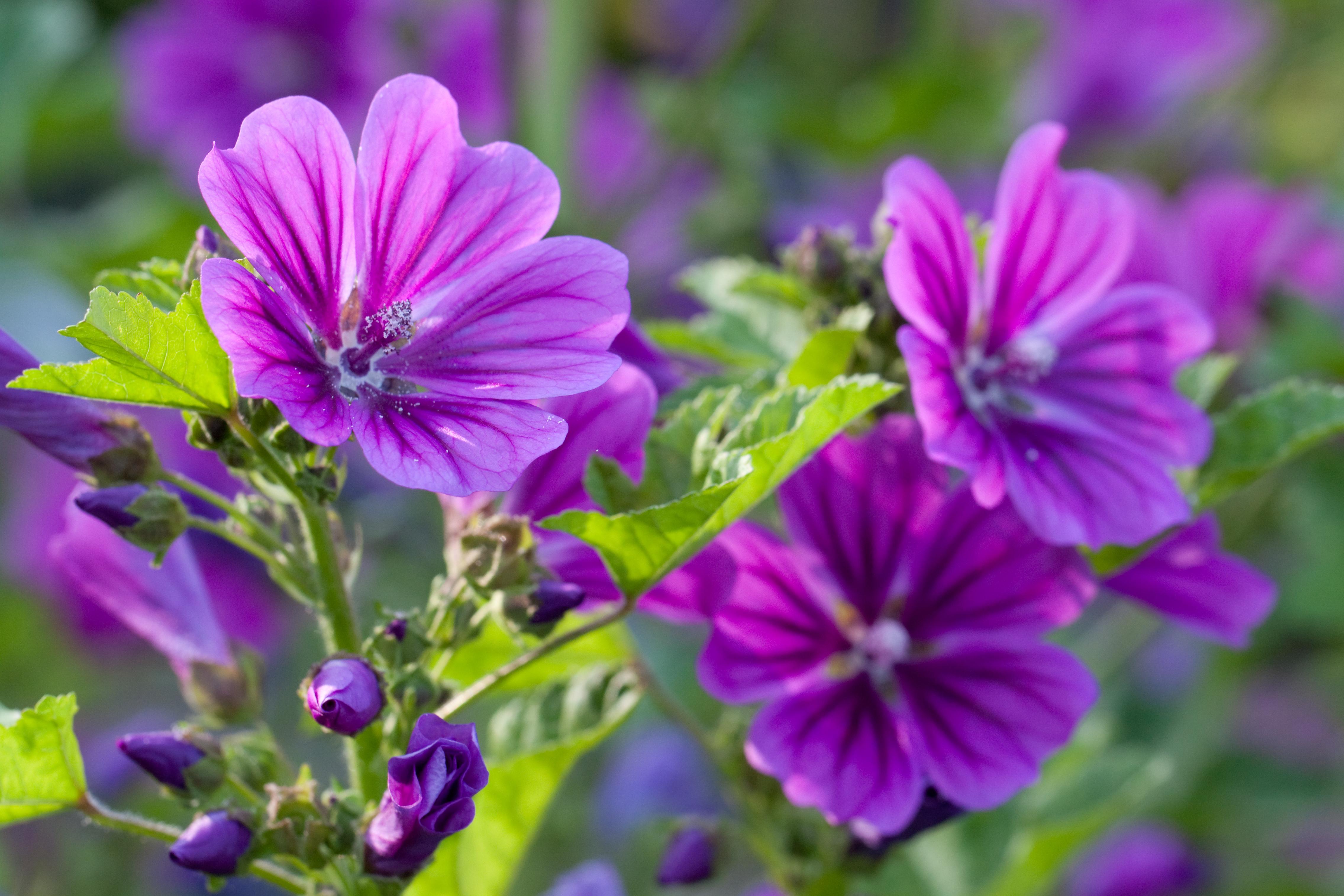 File Flower mon mallow Flickr nekonomania Wikimedia mons