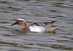 Description de l'image  Image:Garganey duck.jpg .