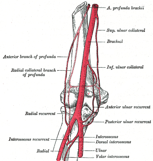 Posterior Interosseous Artery Wikipedia
