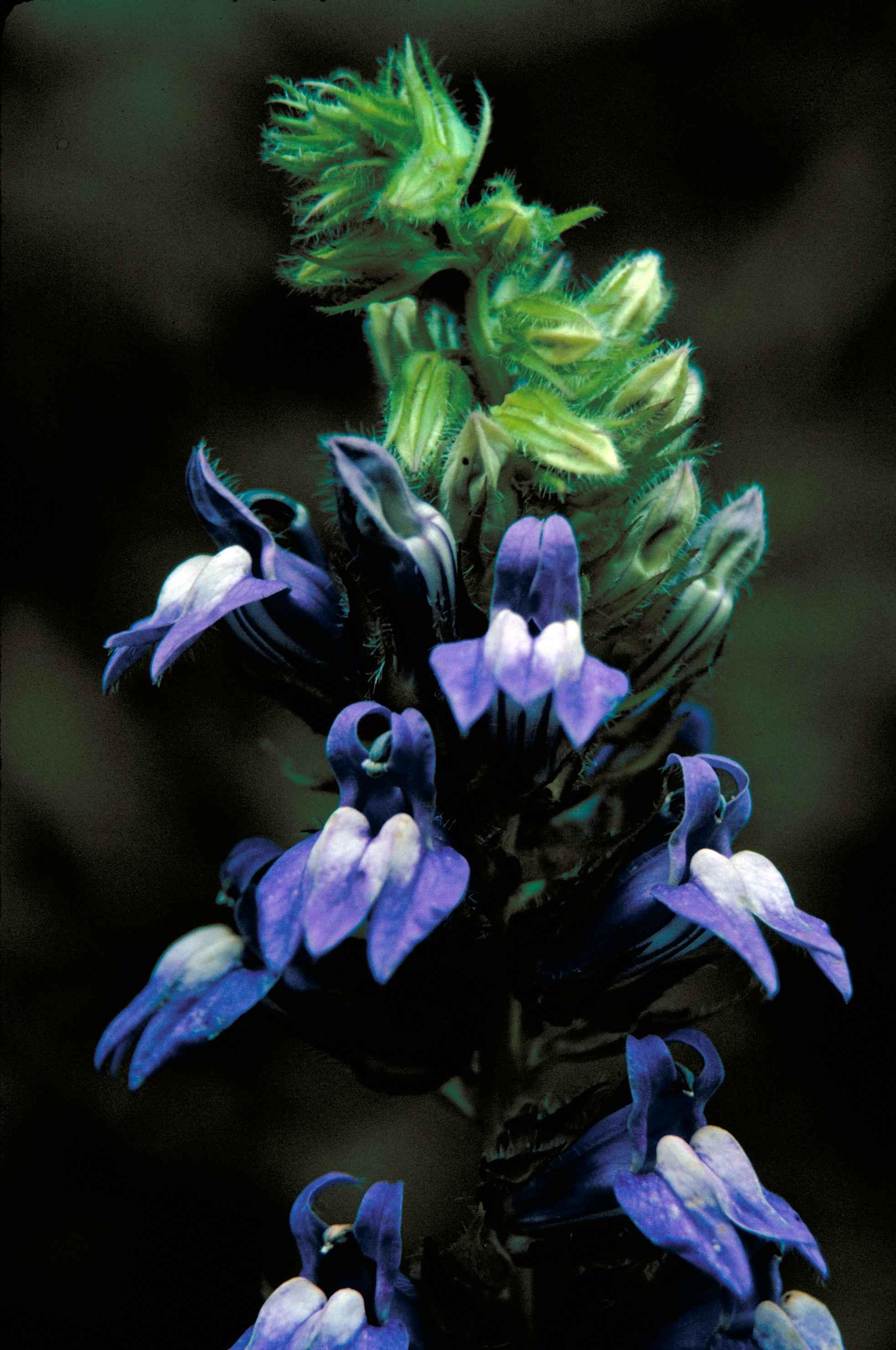 Filegreat Blue Lobelia Plant Flower Lobelia Siphiliticajpg