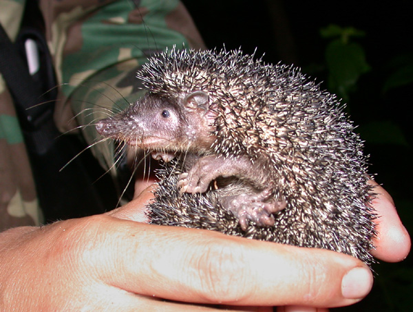 Restr:Greater Hedgehog Tenrec (Setifer setosus).jpg