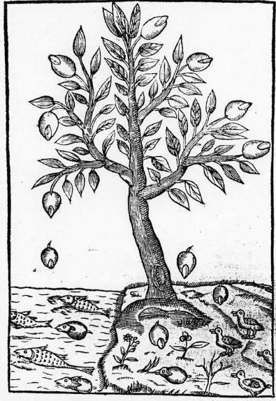 Illustration from Duret's ''Histoire Admirable des Plantes'' (1605)