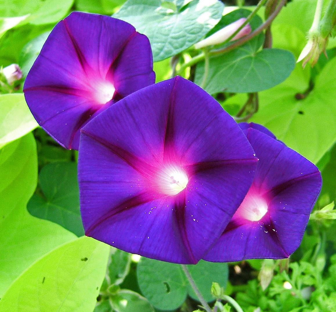 File ipomoea wikimedia commons for Ipomea purpurea