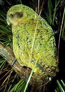 File:Kakapo (Strigops habroptila)-6.jpg