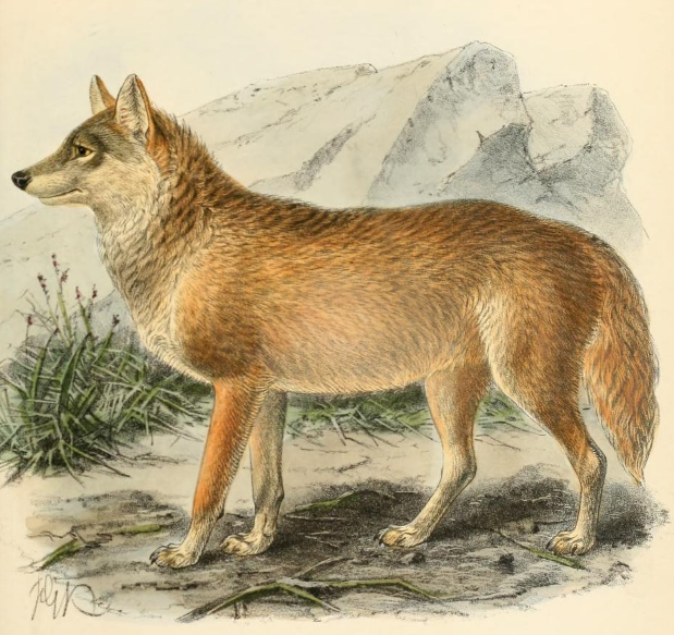 File:Keulemans chanco wolf.png
