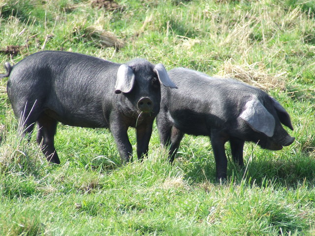 File:Large Black breed piglets.jpg