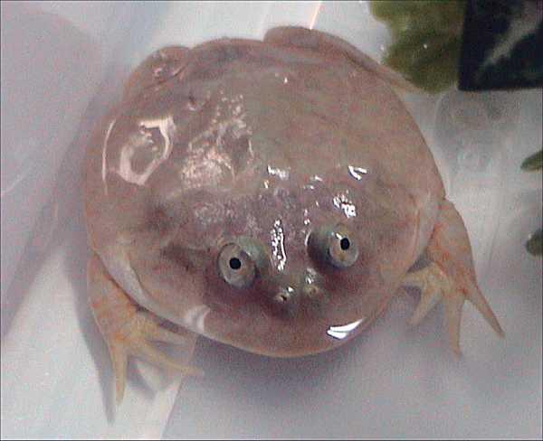 Lepidobatrachus laevis - Wikipedia