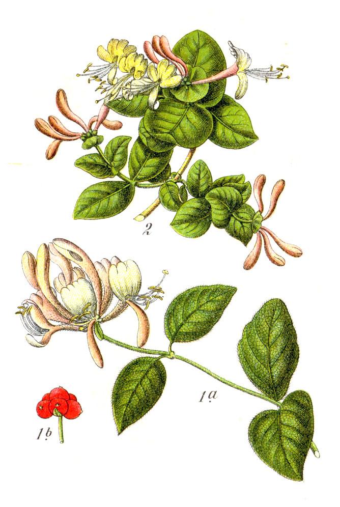 Madressilva