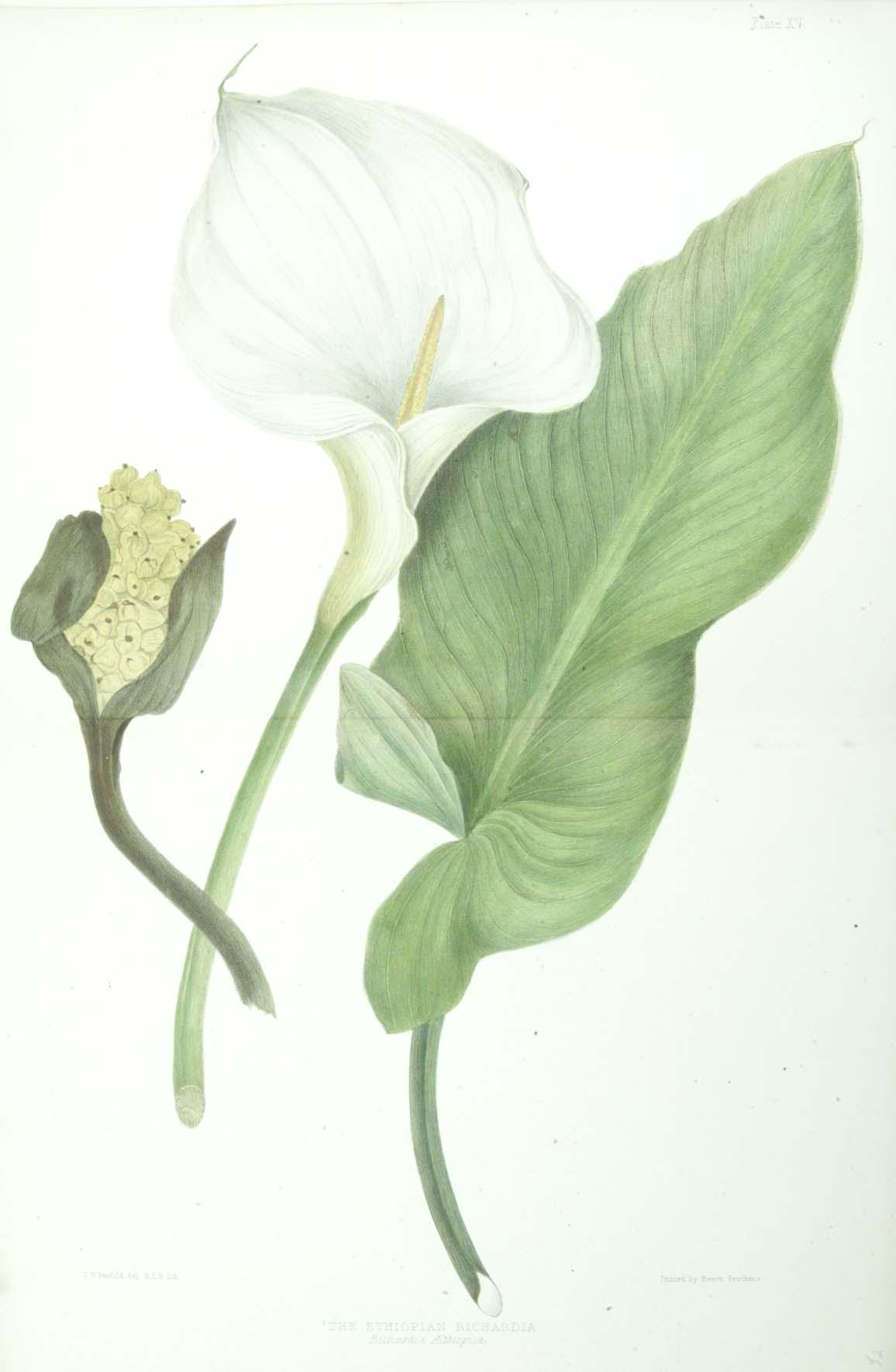 Zantedeschia Aethiopica Wikipedia La Enciclopedia Libre