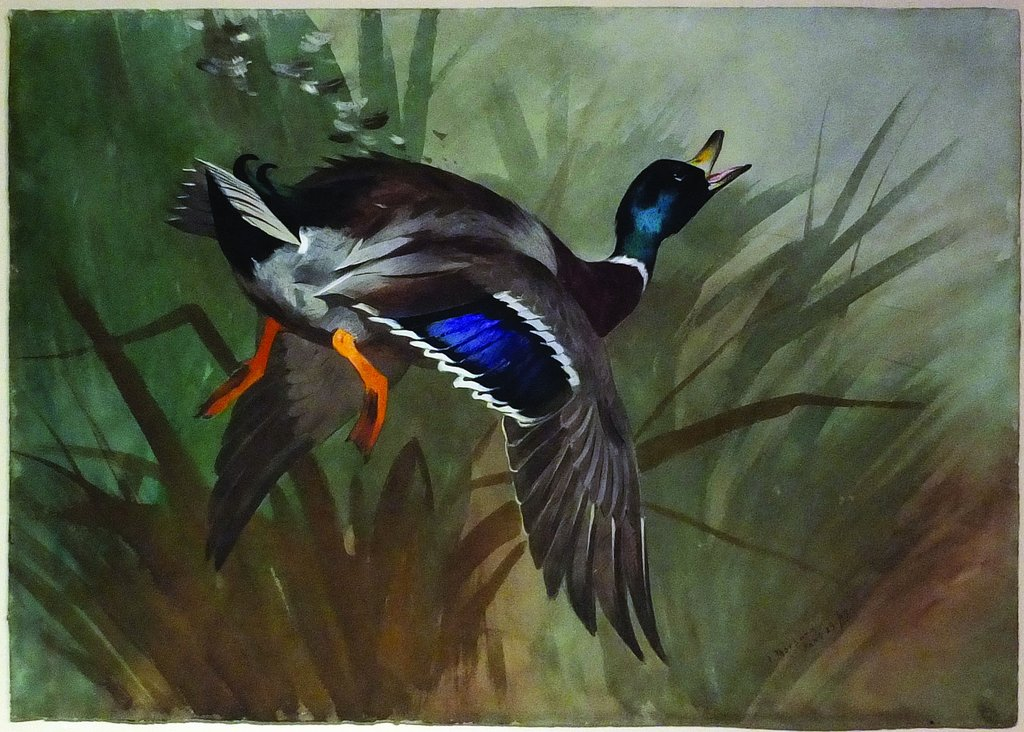 Mallard Duck in Flight by Archibald Thorburn 1897, watercolor.jpg
