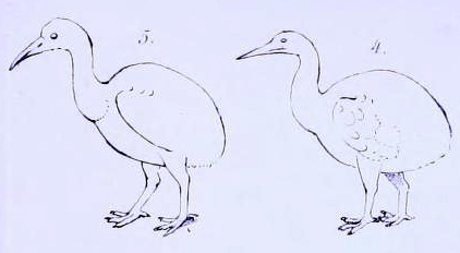 "Schlegel's 1854 outlines of ""dodo"" species (the second supposedly from Rodrigues), which were actually red rails seen by travellers on Mauritius Mascarene rails.jpg"