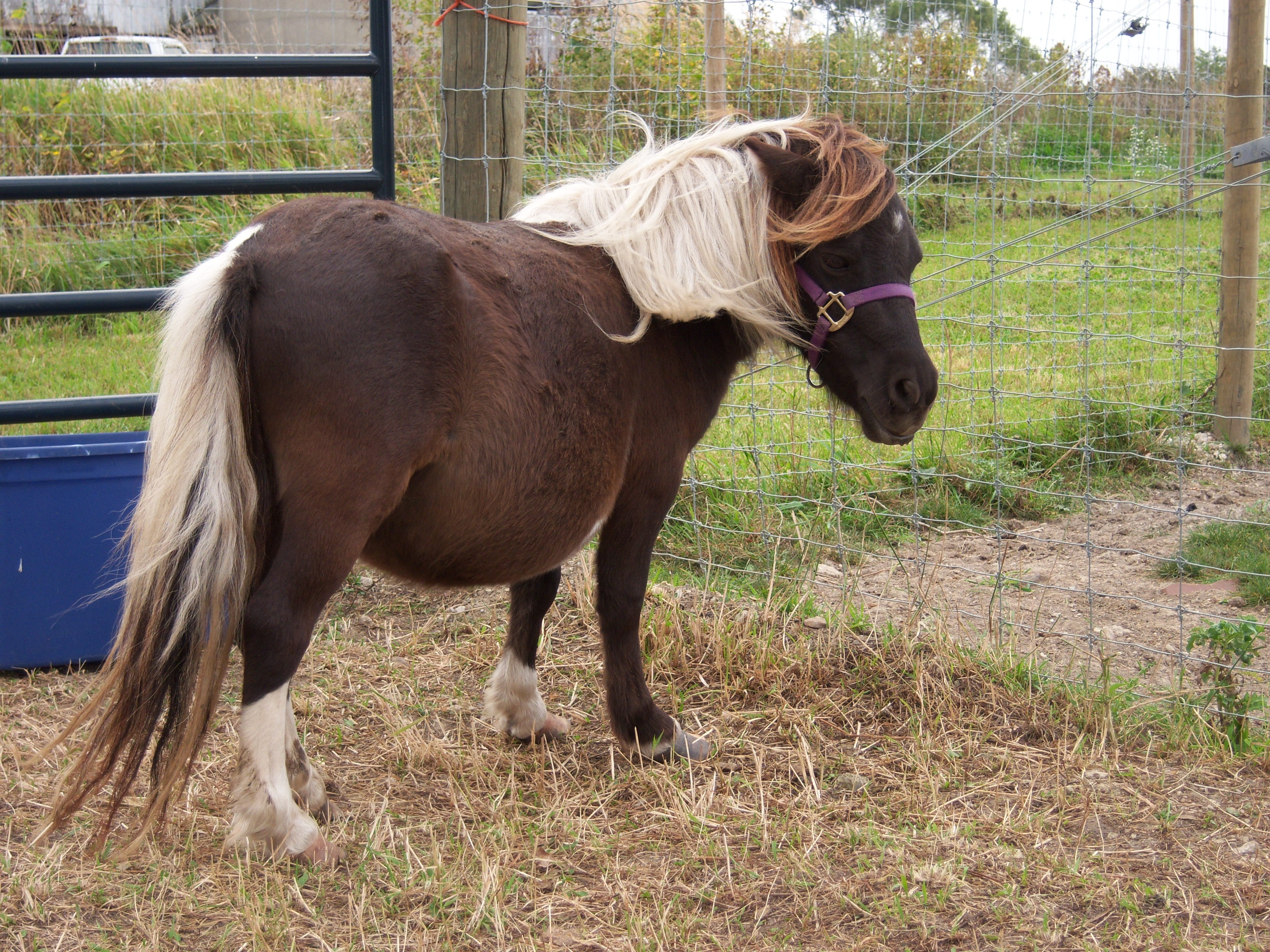 Free Miniature Horse Coloring Pages