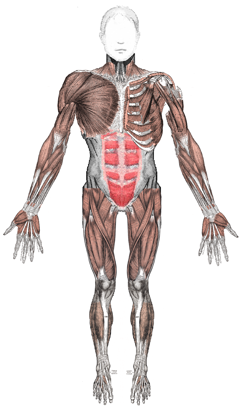 the muscular system 7 interesting facts about the muscular system fact: muscle memory is a type of movement to which muscles become accustomed to over a period of time if you practice the same action, such as dribbling a ball or playing the guitar, over and over again, your muscles remember the action, and it becomes easier and more precise.