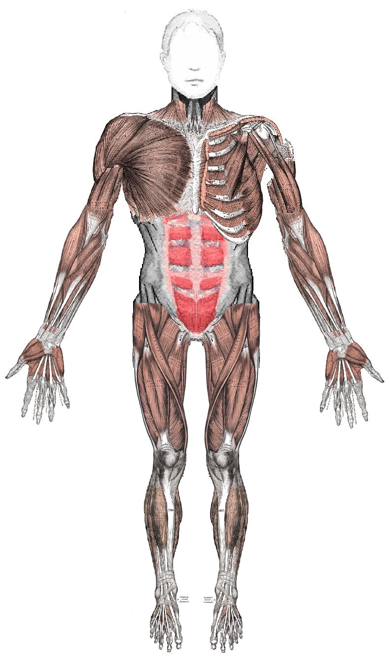 Sistema Muscular - Como ejercitarlo... - Info - Taringa!