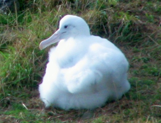 File:Northern Royal Albatross chick Taiaroa Head.jpg