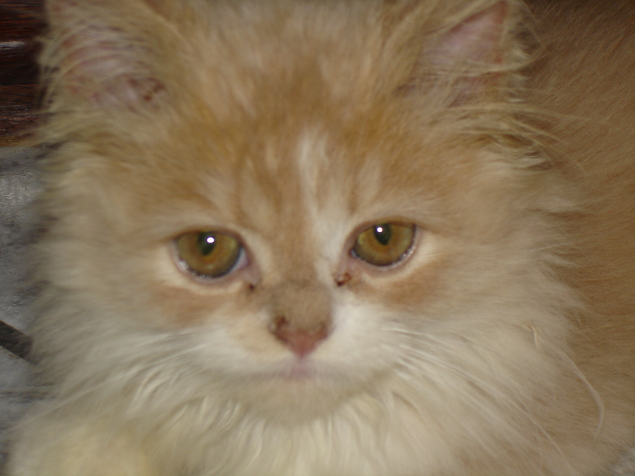 Persian kitten (closeup of face).jpg