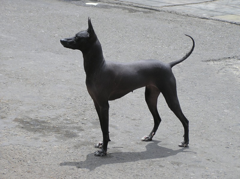 Peruvian Hairless Dog 1.jpg