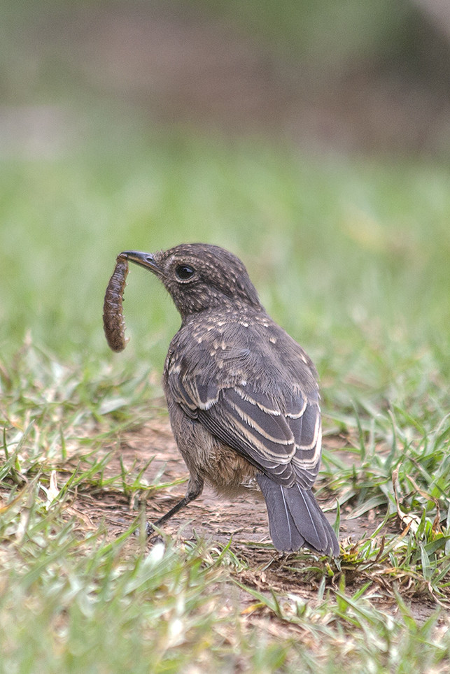 Pied Bush Chat (Saxicola caprata).jpg