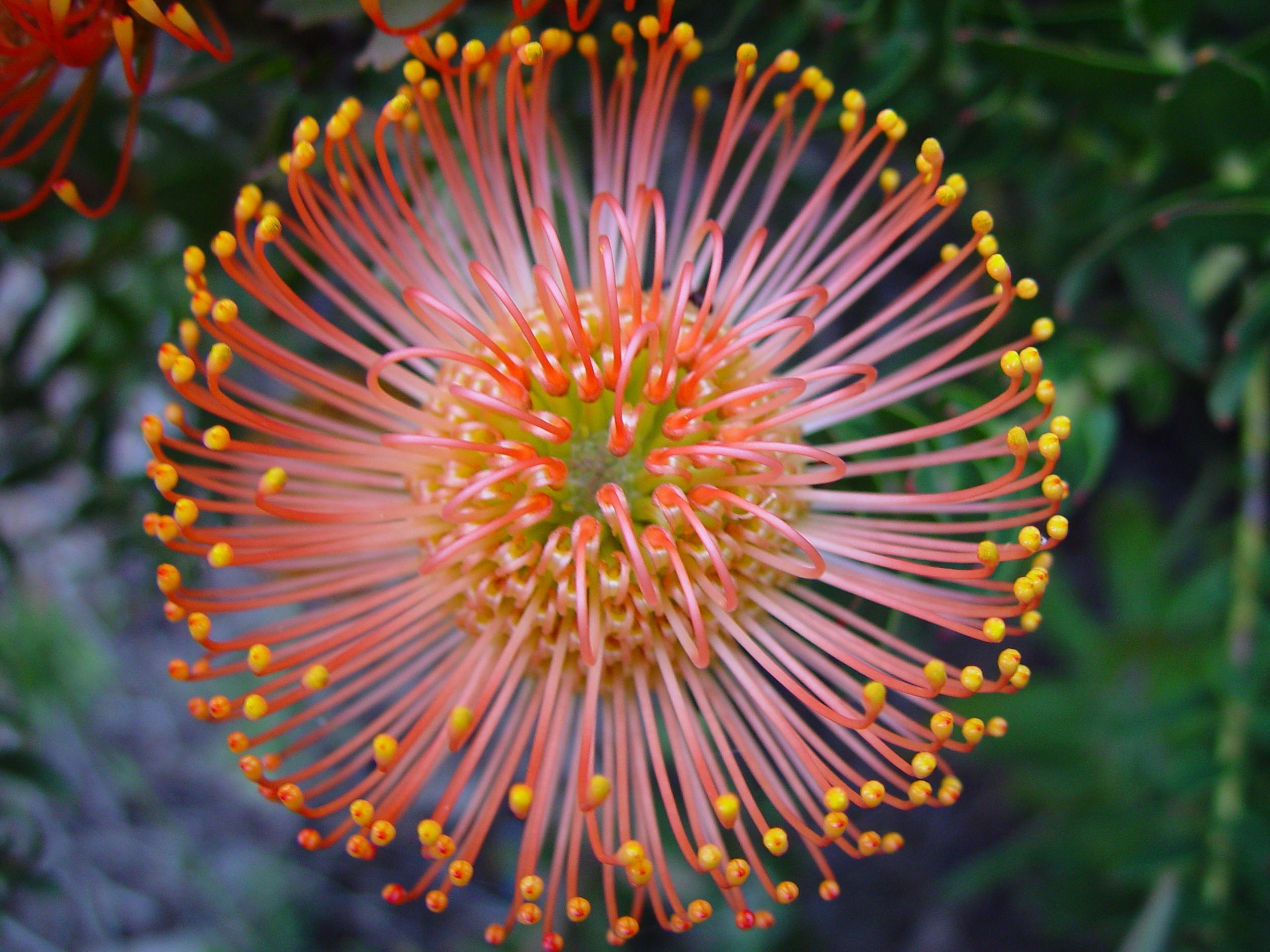 Flowers Protea Flower