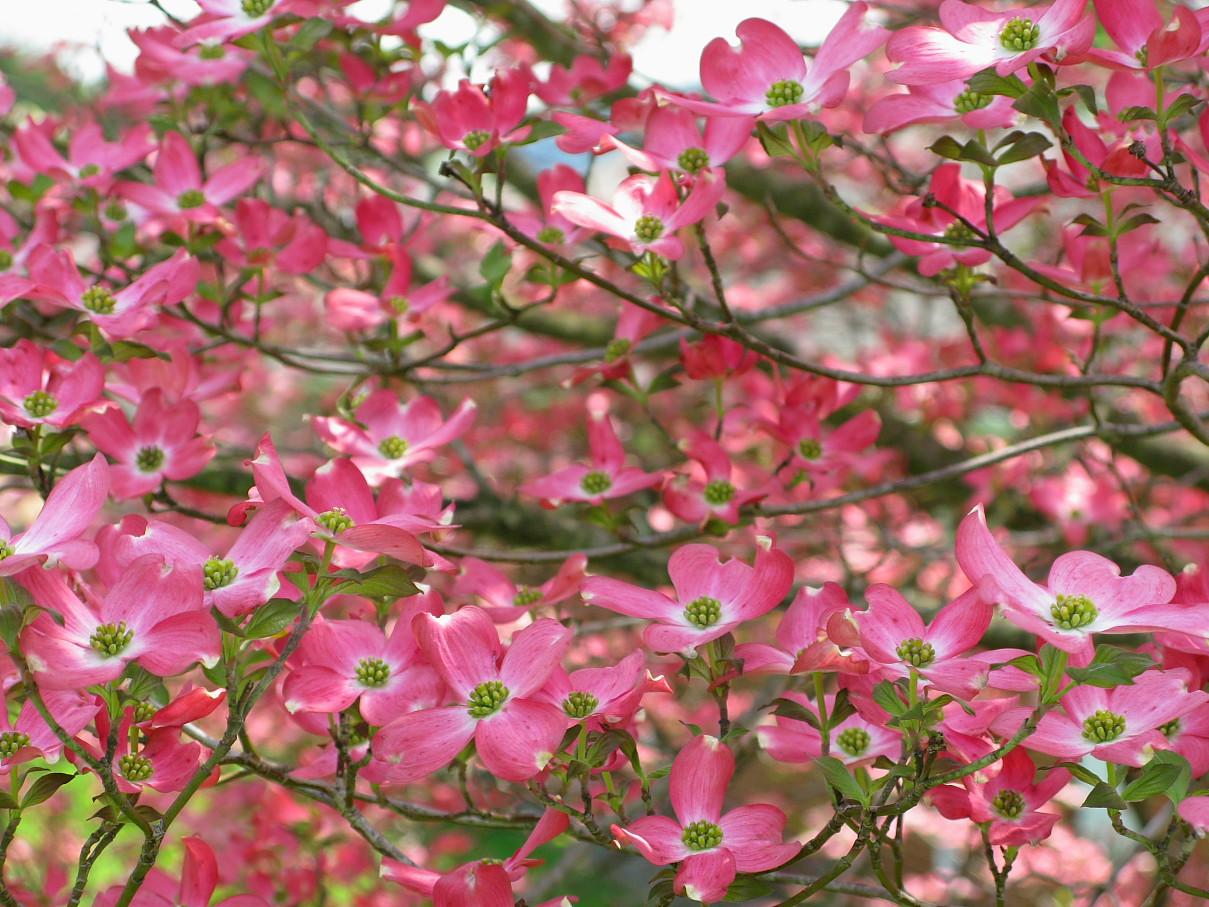 Filepink Flower Dogwood Forestwanderg Wikimedia Commons