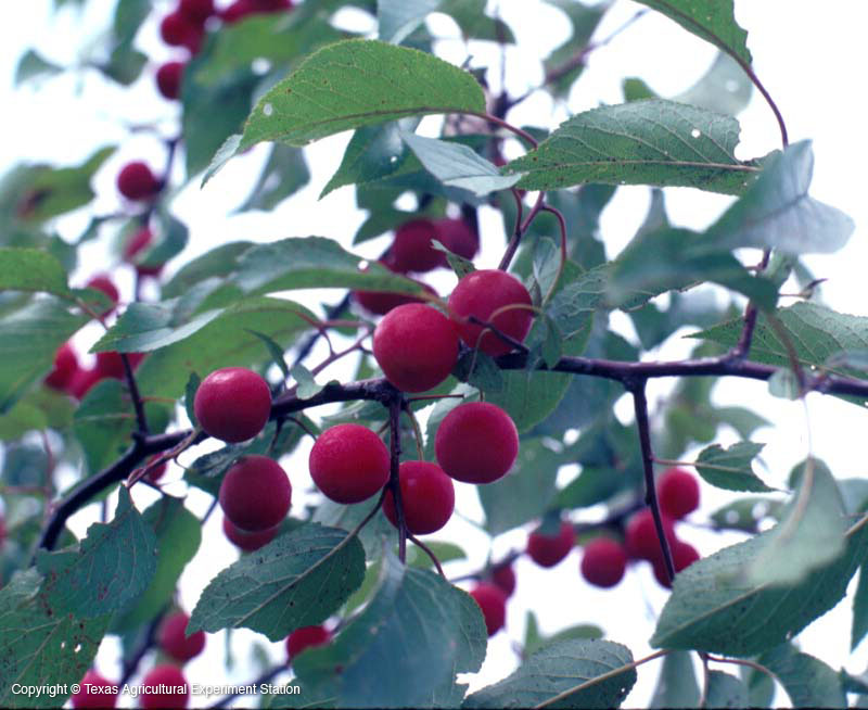 Šljiva biljni rod � wikipedija