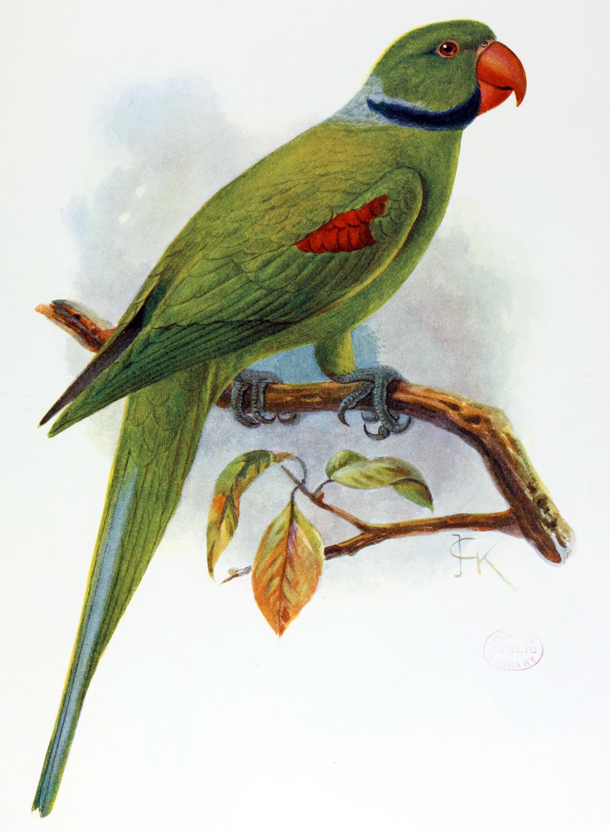 Вымершие и уничтоженные виды попугаев и других птиц Psittacula.wardi.jgk