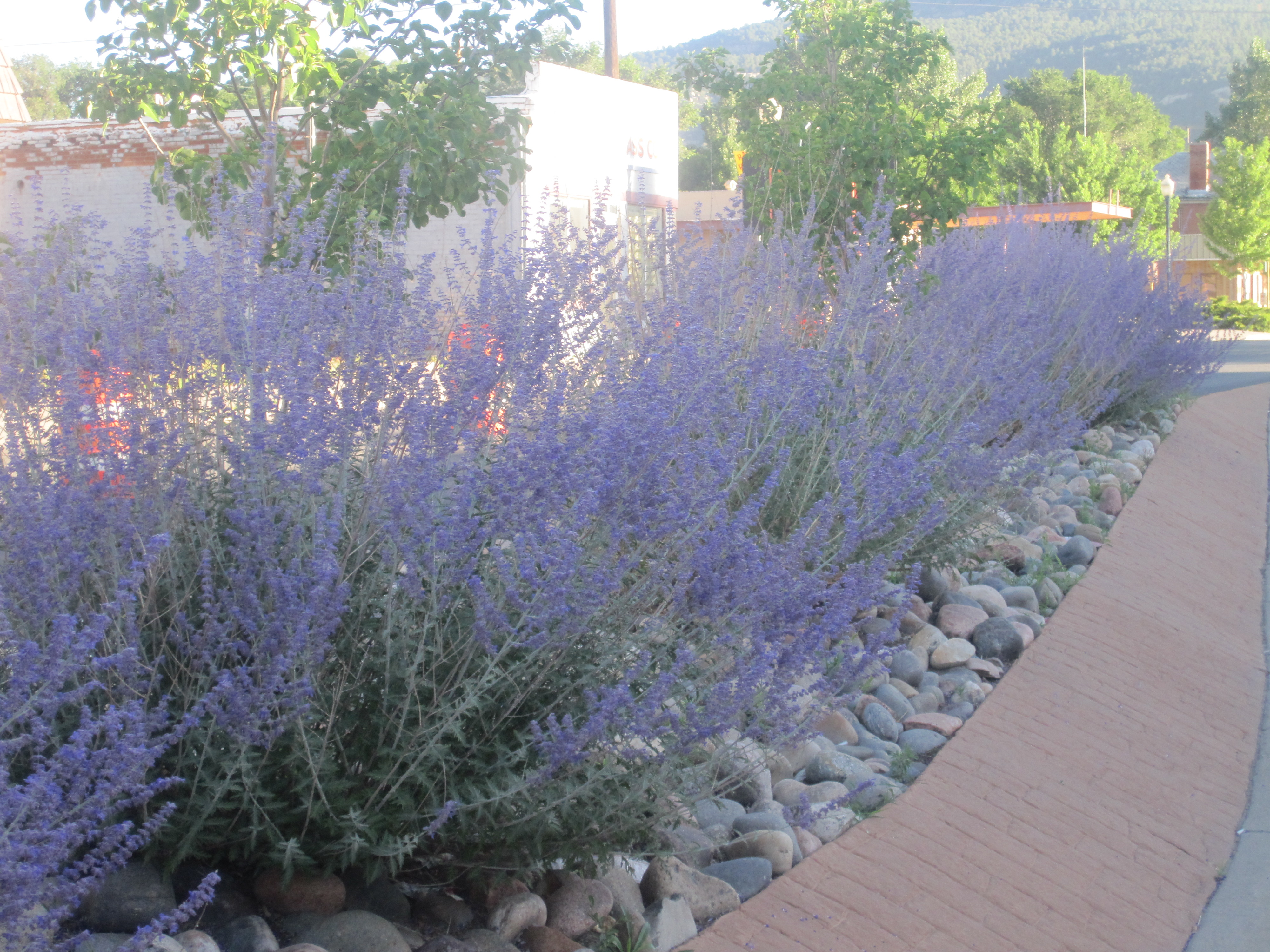 File:Revised purple sagebrush, Raton, NM IMG 4990.JPG ...