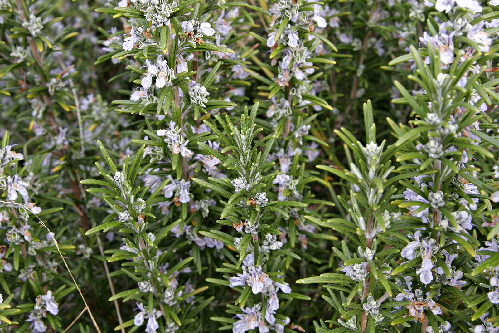 how tall is rosemary bushes