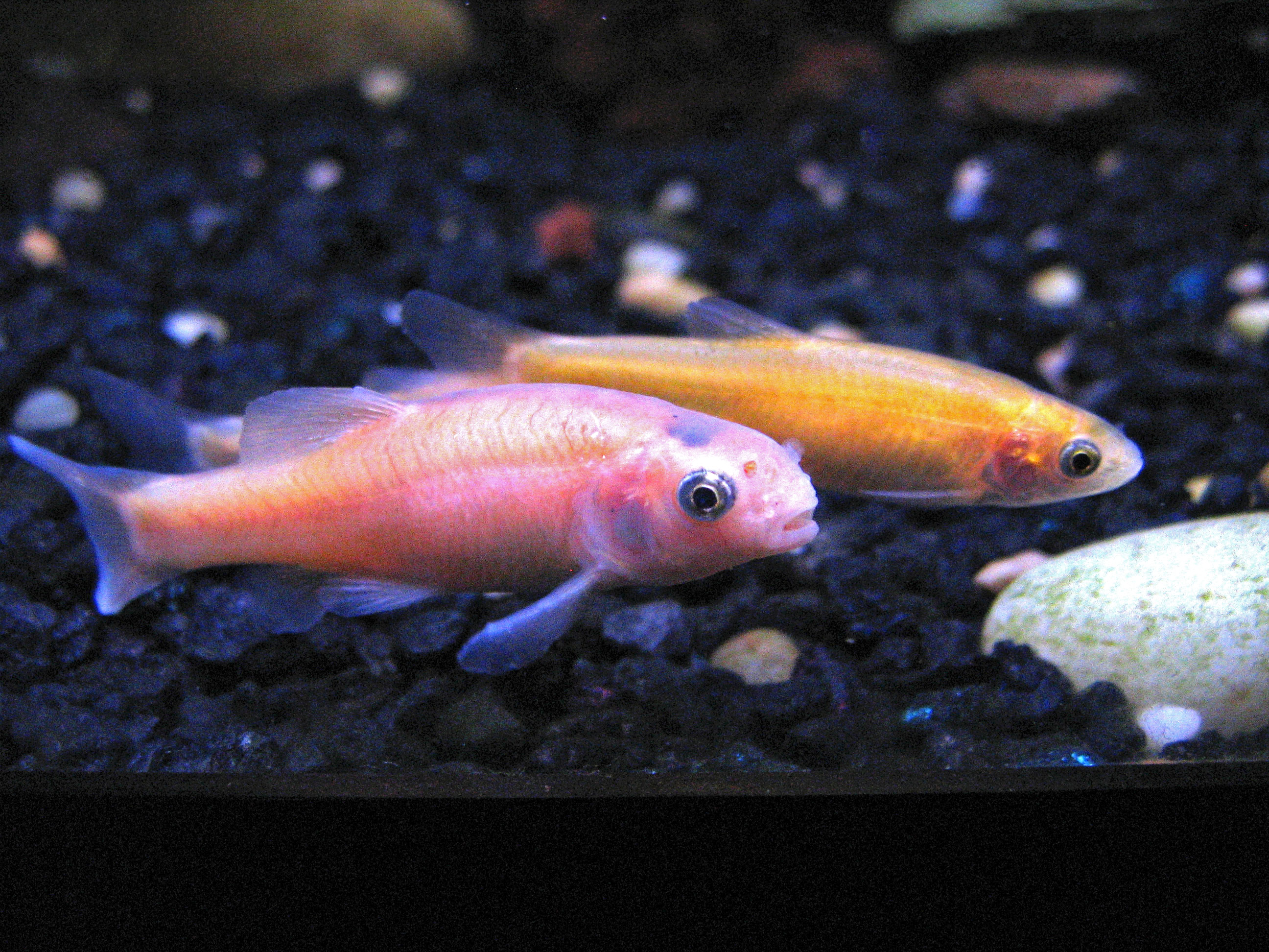 How do rosy red minnows breed my aquarium club for Types of white fish to eat