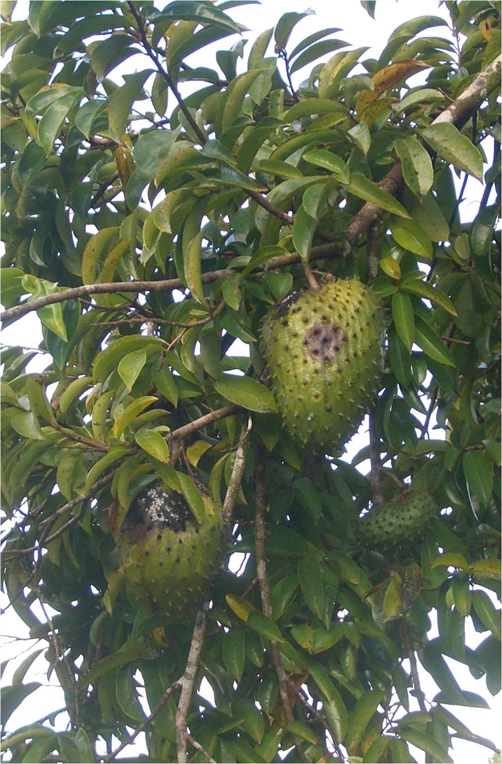 Daleys Fruit Tree Blog: Soursop Tree for Sale in Australia  |Guyabano Tree