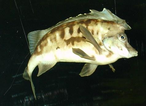 Southern pigfish - Wikipedia