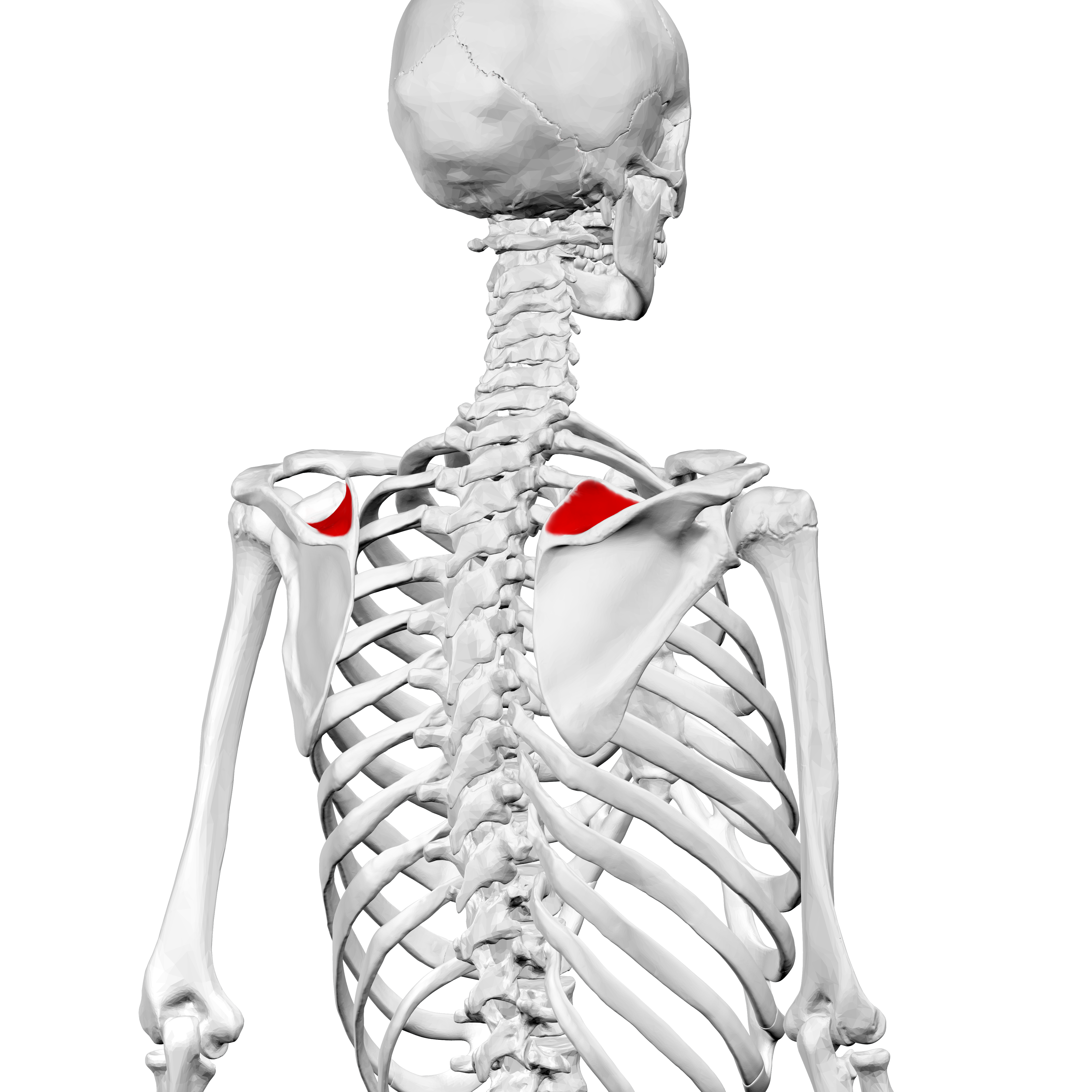 Scapula - Pictures, posters, news and videos on your ...