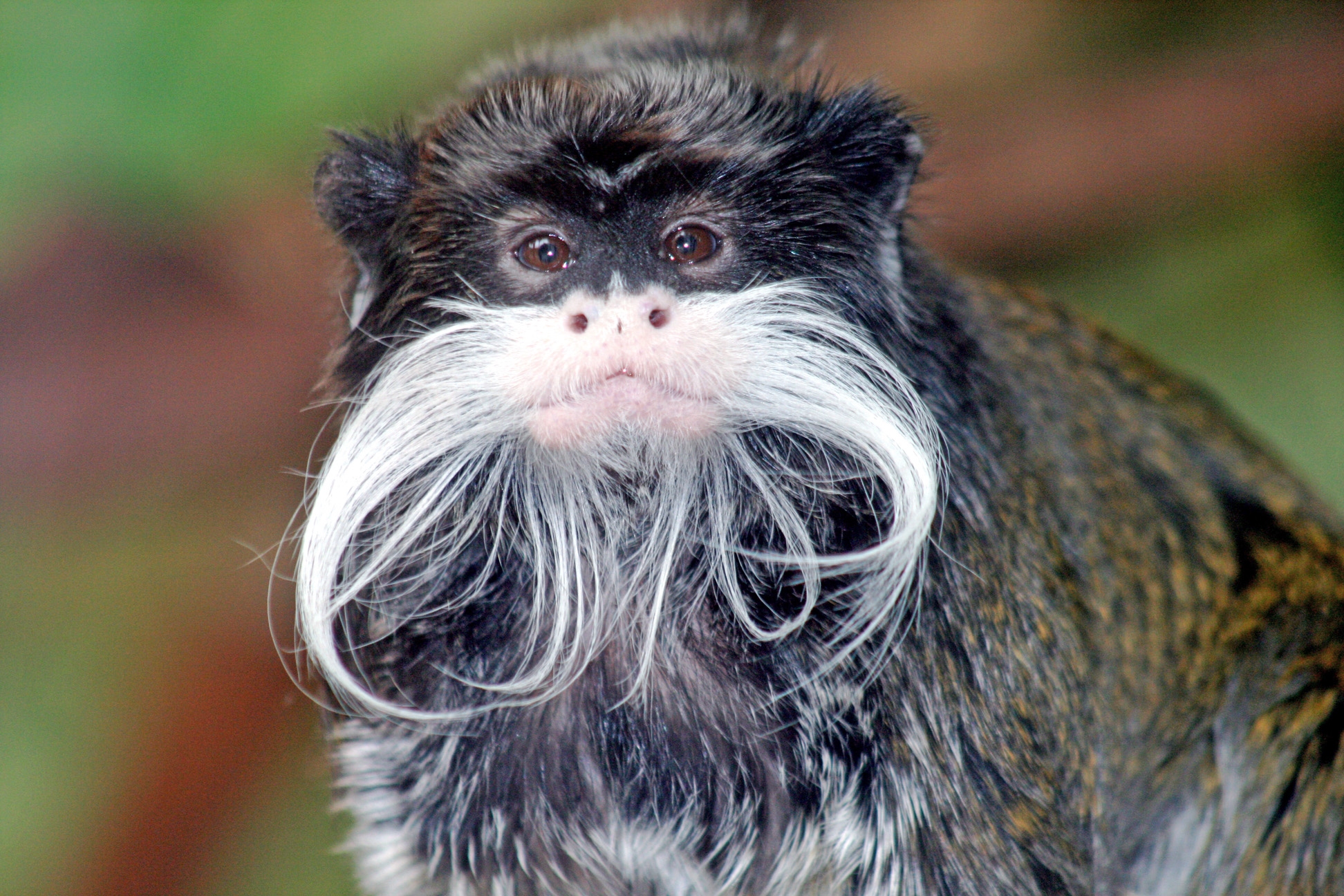 http://upload.wikimedia.org/wikipedia/commons/9/92/Tamarin_portrait_edit.jpg
