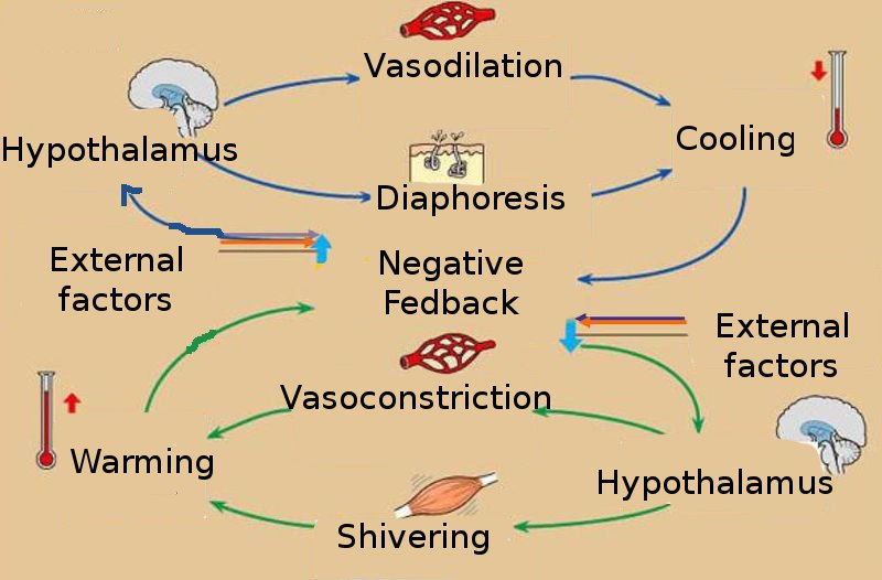 homeostasis regulation This is called maintaining homeostasis the hypothalamus also maintains homeostasis in lots of other ways, such as by controlling your blood pressure.