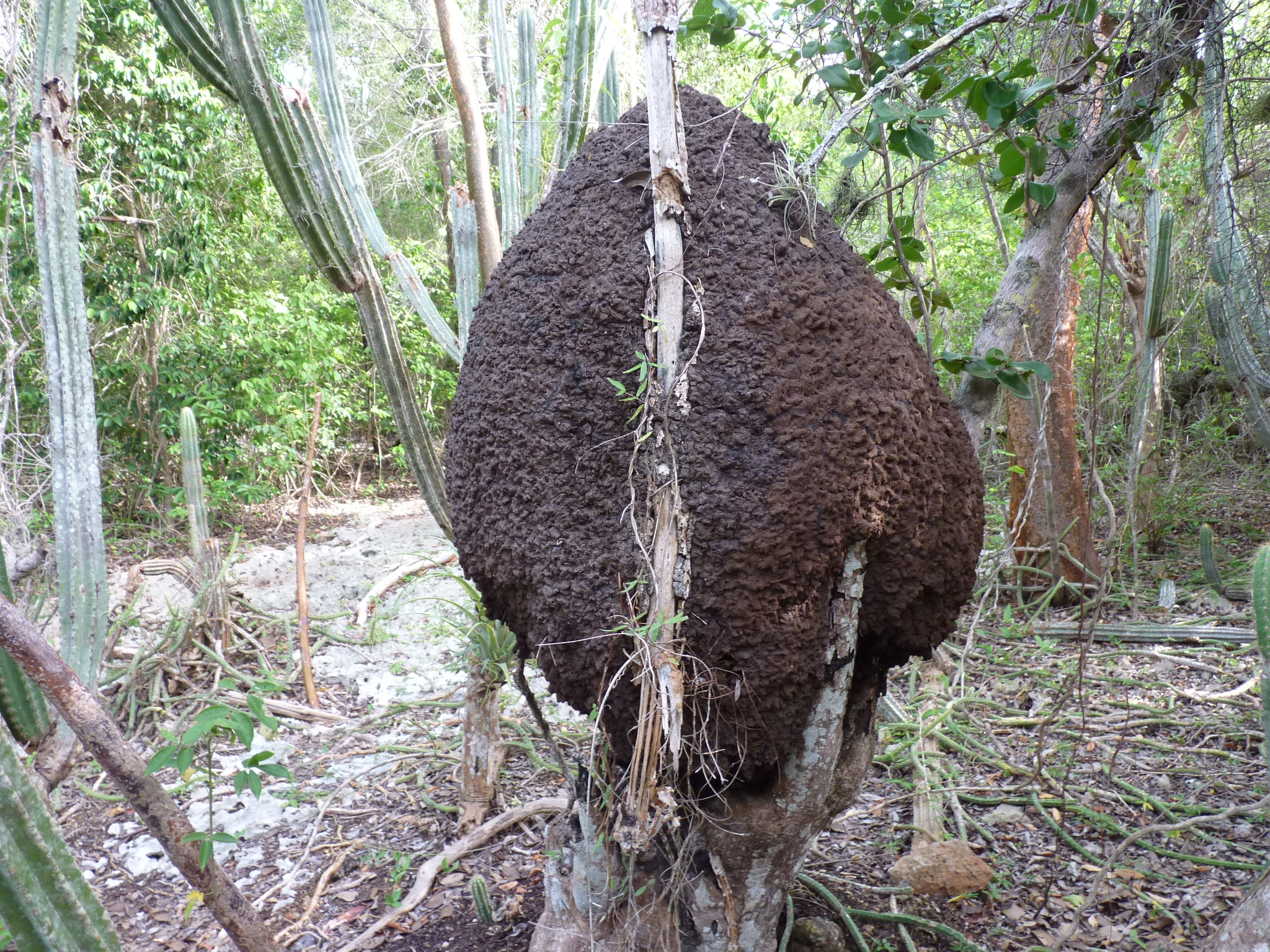 How termites look like