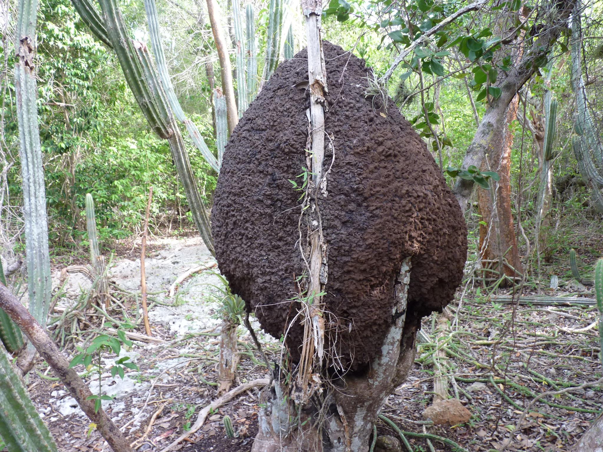 Termites nest - photo#11