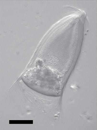 Trichonympha