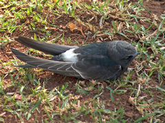White-rumped Swift.jpg