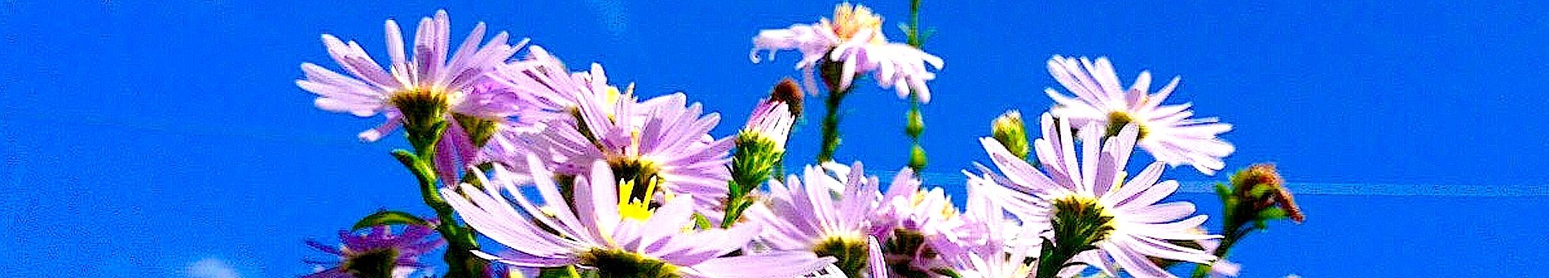 Весеннее цветение астр для преподобного Адриана Монзенского.