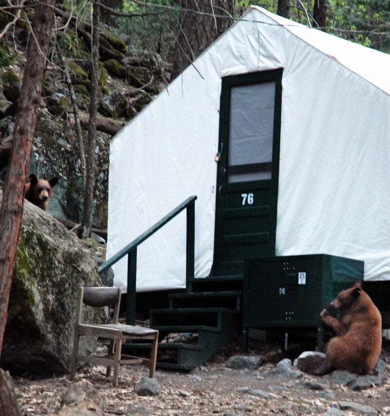 File 080419 Yosemite Bears Curry Village Jpg Wikimedia