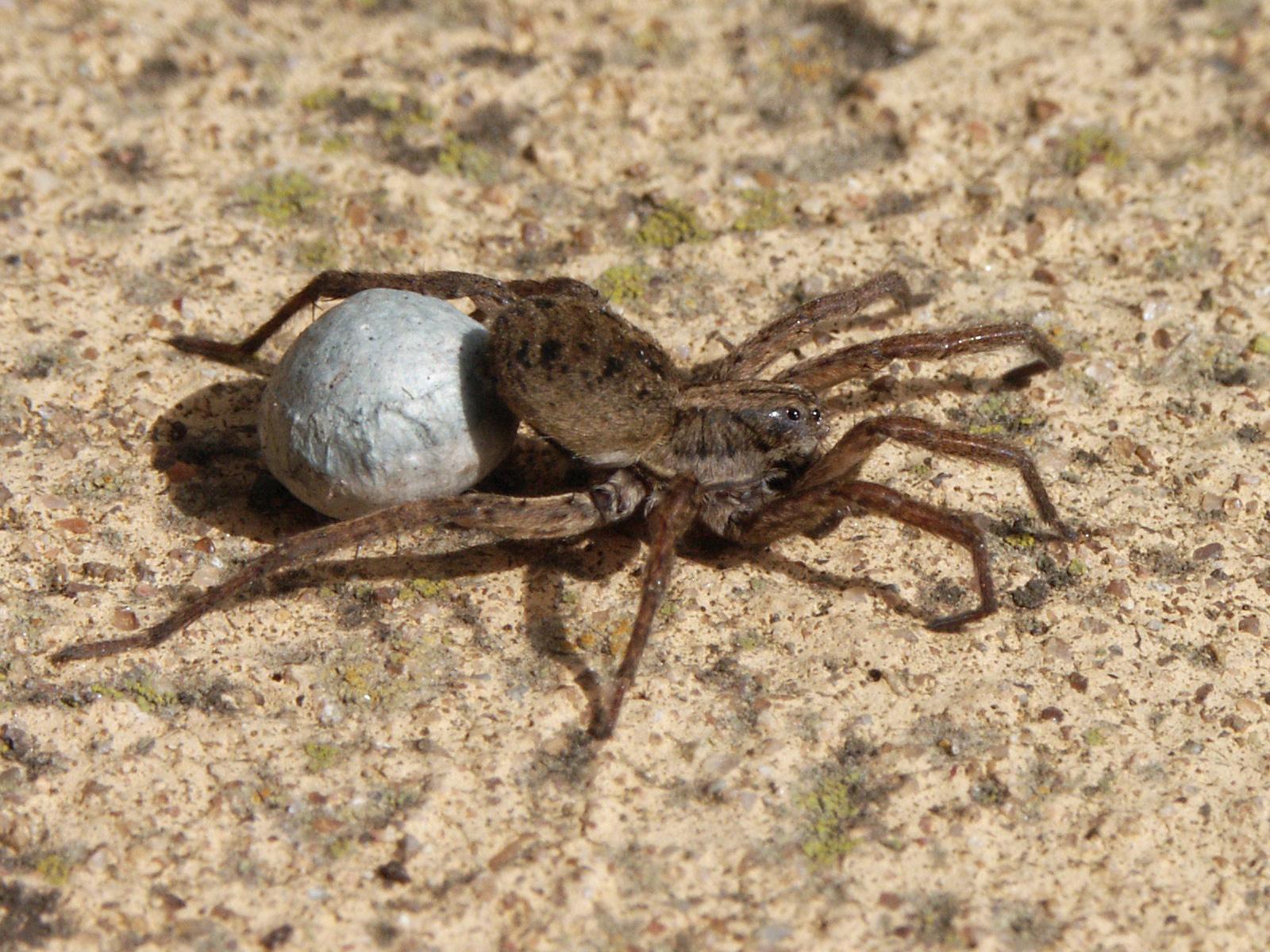 brown widow spider eggs hatch
