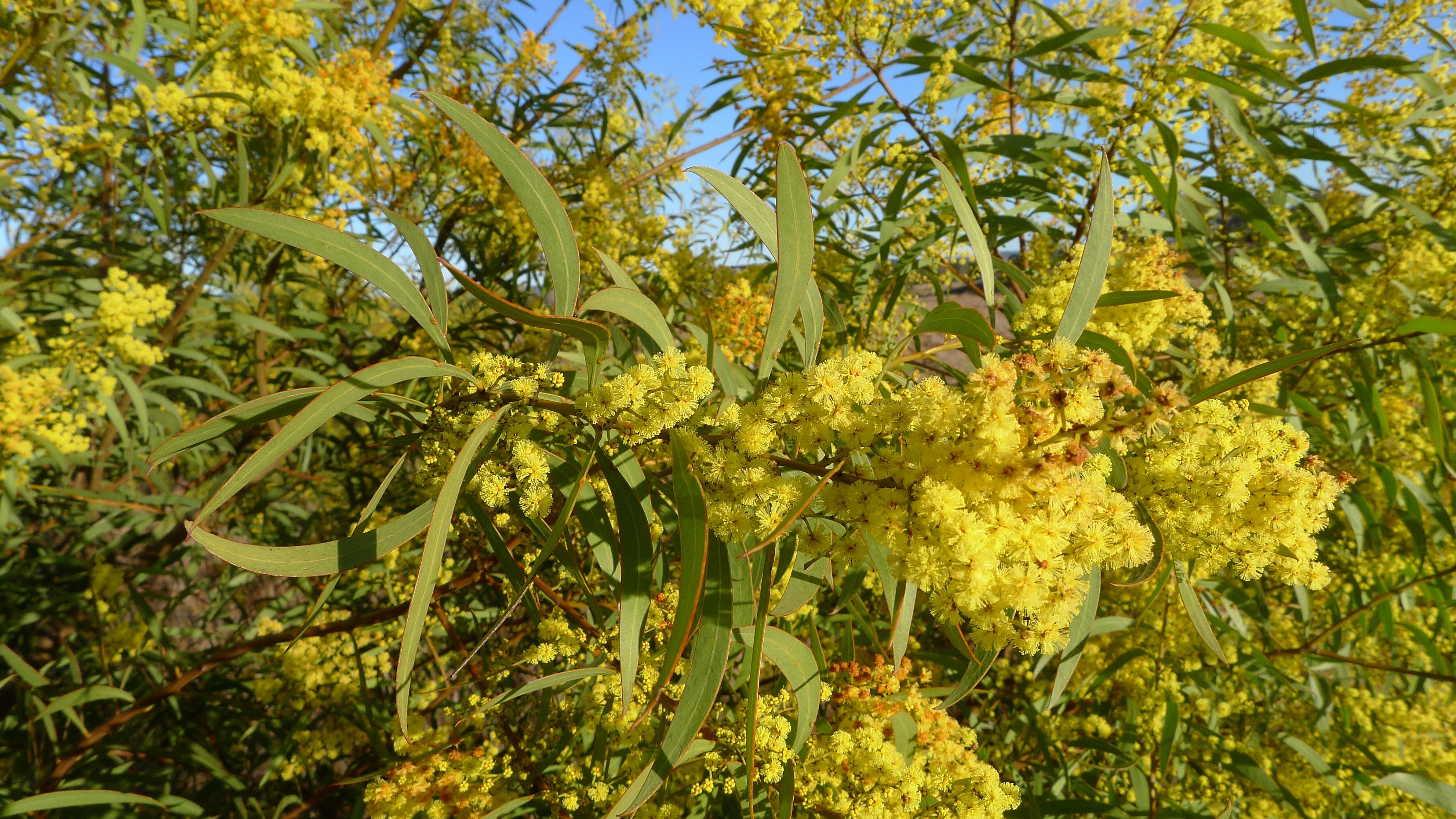 Fileacacia Rubida Flowers And Leaves 9570426902jpg Wikimedia