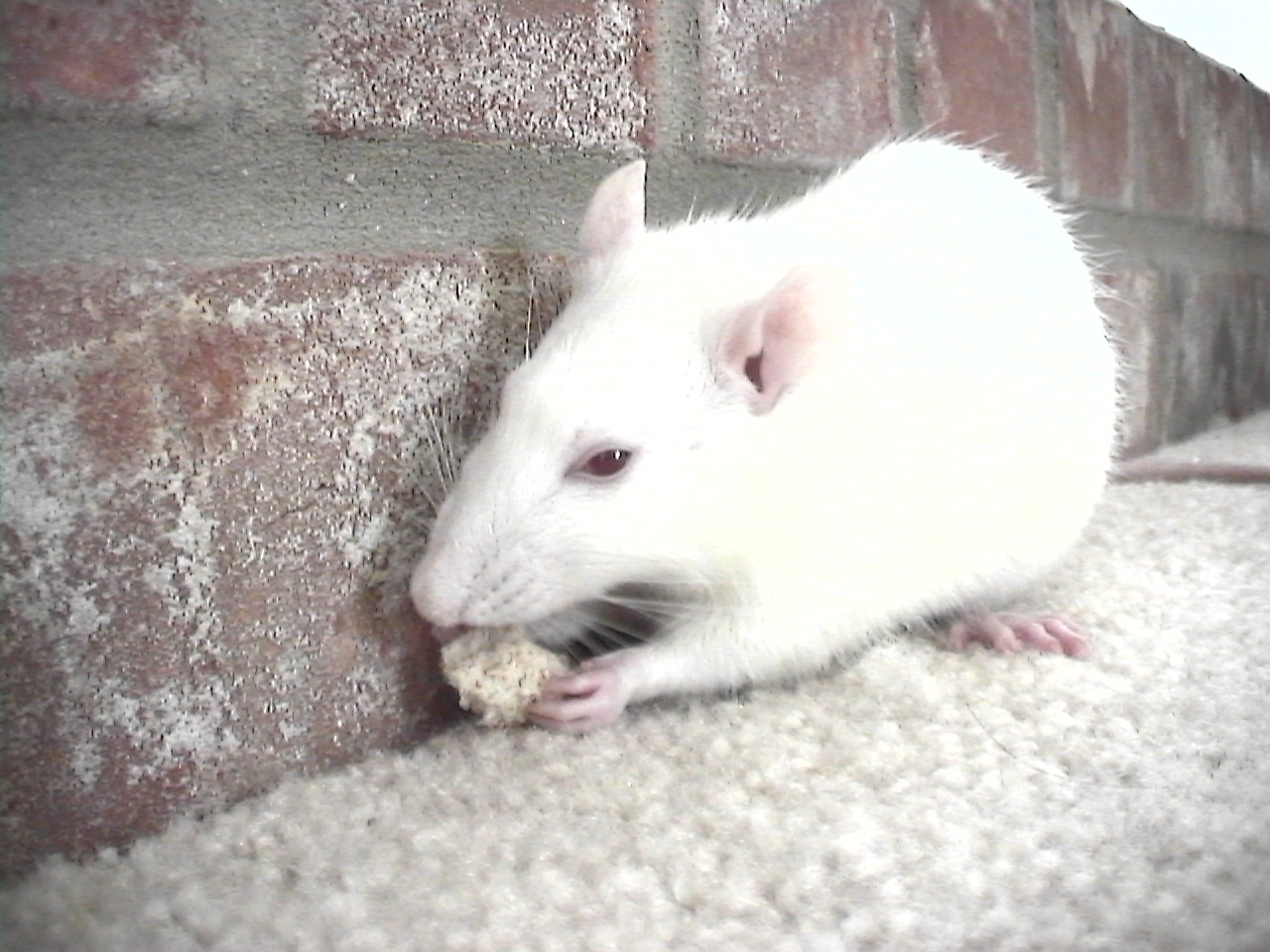 pet rat.